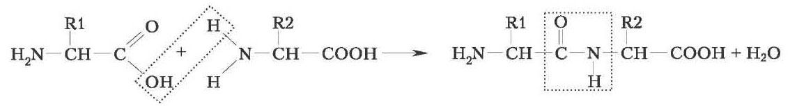 Об'єднання амінокислот за допомогою пептидних зв'язків у пептиди