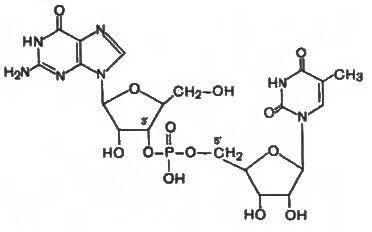 Схема утворення нуклеотидного ланцюга