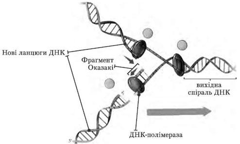 Схема реплікації ДНК
