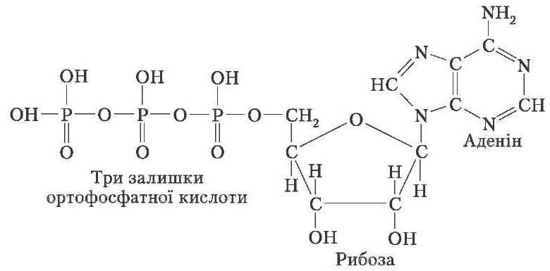 Молекула аденозинтрифосфорної кислоти